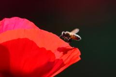 花と蜂と! 3414 ポピーとミツバチと!!