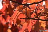 紅葉 8519 アメリカハナミズキの葉っぱの透過光!