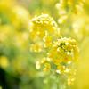 黄色に染まる