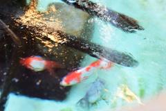 氷下の金魚