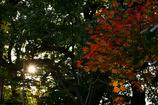 紅葉と日差し