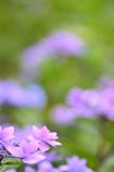 こちらは本家、紫陽花です。