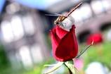 赤いトンボは赤い花がお好き