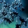 枯れ紫陽花(藍)