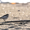 砂浜のセキレイ