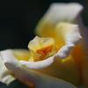 Rosy Dream #3