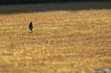 金色の野に立つ
