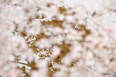 場所は違っても桜は桜