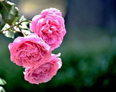 群馬 薔薇園