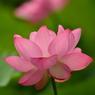 日本庭園の蓮
