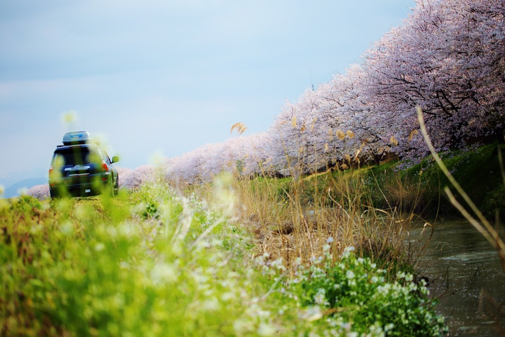 桜を 追いかけて ♪