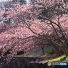 石垣と河津桜