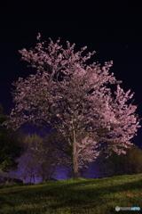 大谷公園の桜 その2