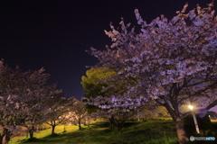 大谷公園の桜 その1