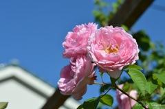 近所のピンク薔薇