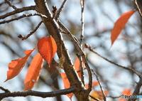 桜(紅葉)