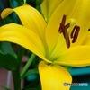 黄色の百合