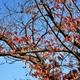桜(紅のピーク)