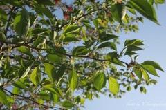 新緑(桜)