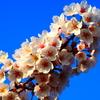 ギラギラした桜