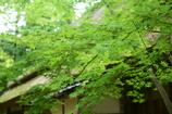 日本家屋とカエデ