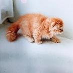スコティッシュの仔猫
