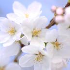 Sakura.A