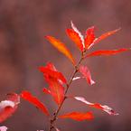 y. japonica