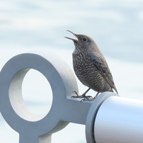 海辺の野鳥〜イソヒヨドリ女の子