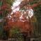 晩秋の 竹と楓