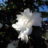 白い山茶花