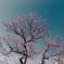 小田原フラワーガーデン【紅梅:八重寒紅】①20210110