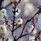 府中市郷土の森【梅の花:八重野梅】①20210116