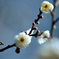 府中市郷土の森【梅の花:八重野梅】②20210116