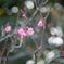 府中市郷土の森【梅の花:佐橋紅】①20210116