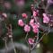 府中市郷土の森【梅の花:佐橋紅】②20210116