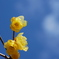 蝋梅の花と青空に白い雲
