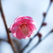 重なる紅梅の花びら