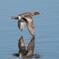 飛翔‥水面のヒドリガモ