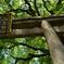 山王神社の楠