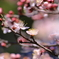 里山の梅の花