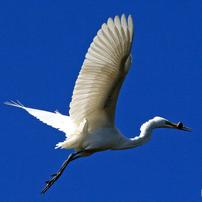 水辺の鳥(C)