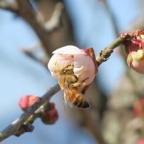 春一番〜ハッチと梅の花