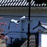 城のお堀の水鳥達:アオサギ③