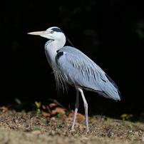 水辺の鳥(D)
