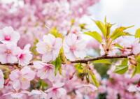 春さきどり・・三条桜
