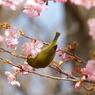 春2(河津桜とメジロ2)