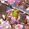 春5(河津桜とメジロ5)