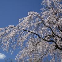 桜、華やかな季節、