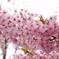 三月二十日曇り 河津桜4